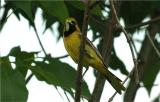 Orchard Oriole - First Year