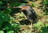 Green Heron (Butorides virescens)