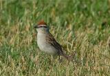 Chipping Sparrow (Spizella passerina)