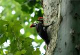 Pileated Woodpecker 42.JPG
