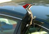 Pileated Woodpecker 43.JPG