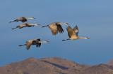 Sandhill Cranes_843.jpg