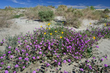 Sand Verbena in Joshua Park_229.jpg