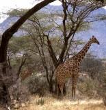 Reticulated Giraff, Serenghetti