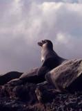 Gallapagos Fur Seal