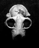 Lemur Skull