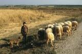 Turkish Boy With His Dog and Sheep