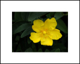 Petite Yellow
