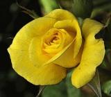 Yellow Rose of California