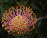 Starburst of Light Blossom
