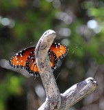 A Moth & A Few Butterflies