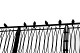 Blackbirds on a Fence