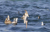 Brown Pelicans, Sardines and Monterey