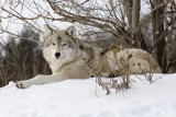 Repose - Arctic Wolf