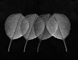 Bohdi Leaf Study