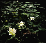 Water Lilly Dream Pond