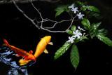 KoiBlossoms.jpg