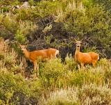 Deer near Lee Vining