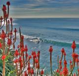 Red Aloe & Christmas Surf