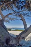 Beach Cypresses