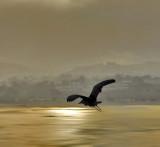 A Heron Soars