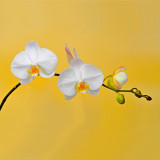 White Orchids 72