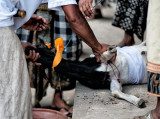 A Goat to be Sacrificed