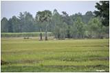 I -San rice field