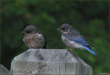 Bluebird Sister and Brother