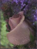 Rose and Rain Drops