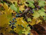Blue Berries of Autumn
