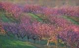 Plant Peach Trees
