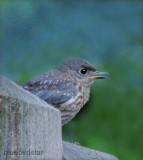 Bluebird Baby - Male