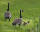 Goslings - Canada Geese