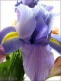Heart of Iris