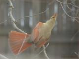 Cardinal Dance