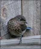 Baby Bluebird - Female