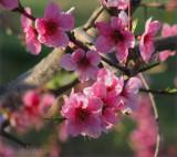 Peach Blossom Sundae