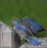 Baby Bluebird Male