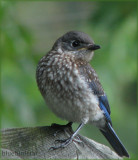 Baby Bluebird - Male