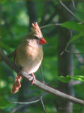 Cardinal - Lady