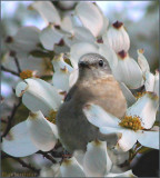 Bluebird Mom