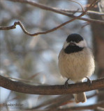 Chickadee Sings for Joy