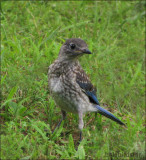 Bluebird Baby Male
