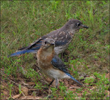 Bluebird Mom and Son