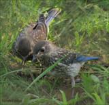 Bluebird Babies