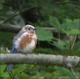 Baby Bluebird Changing Feathers