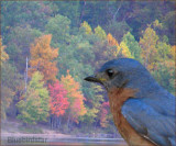 Autumn Comes for the Bluebird
