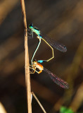 March Bluetail - Mozambique