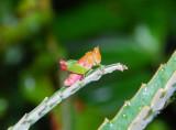 Grasshopper - Mozambique